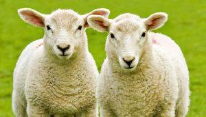 dvi baltos avys